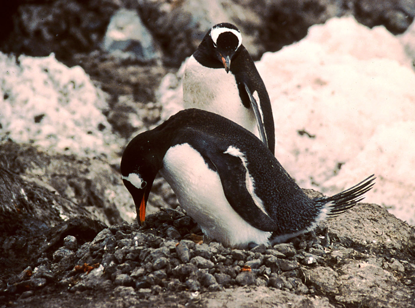 Gentu penguin nest