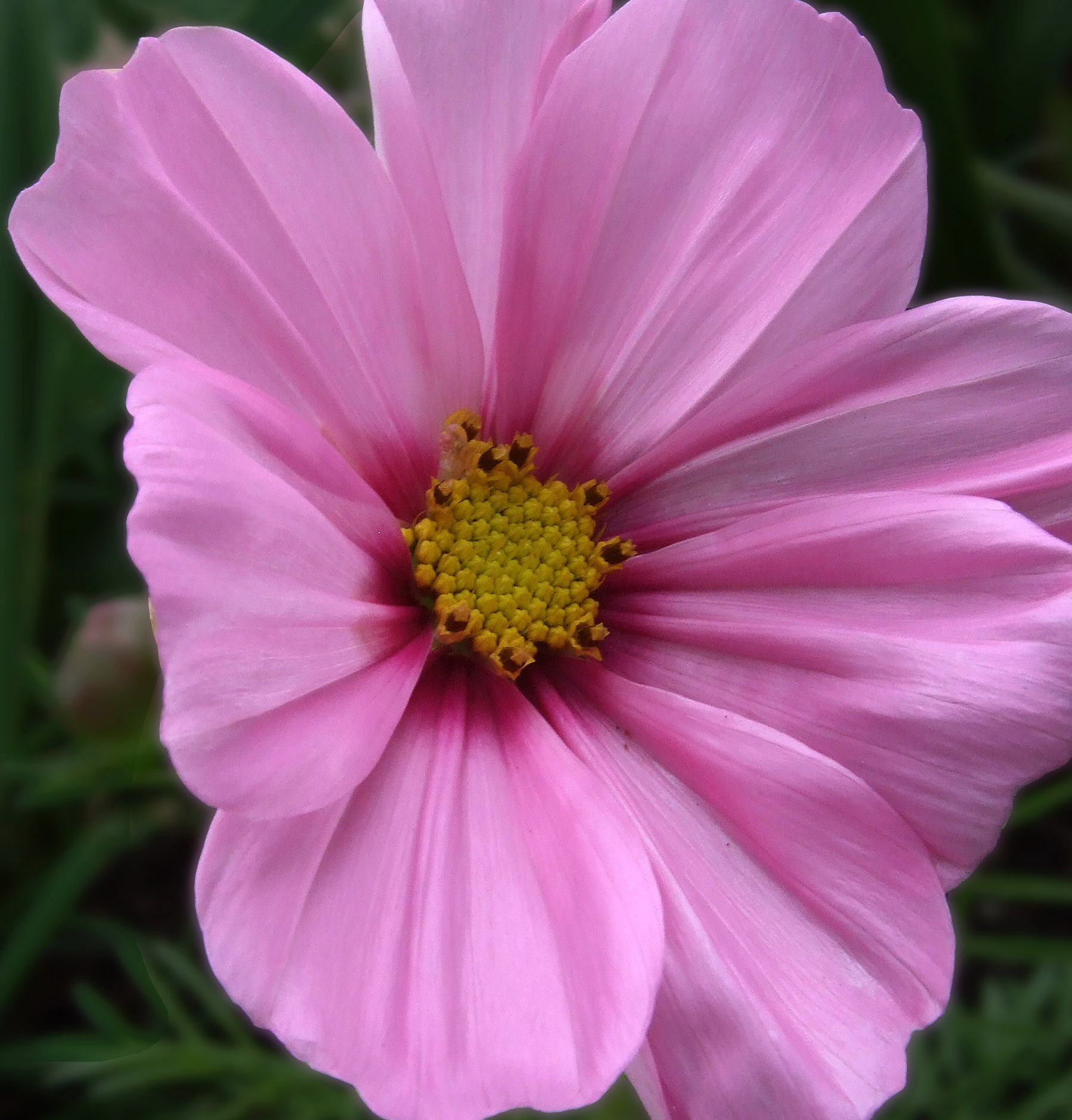 Pink yellow flower from fuji f31fd digital camera mightylinksfo Image collections