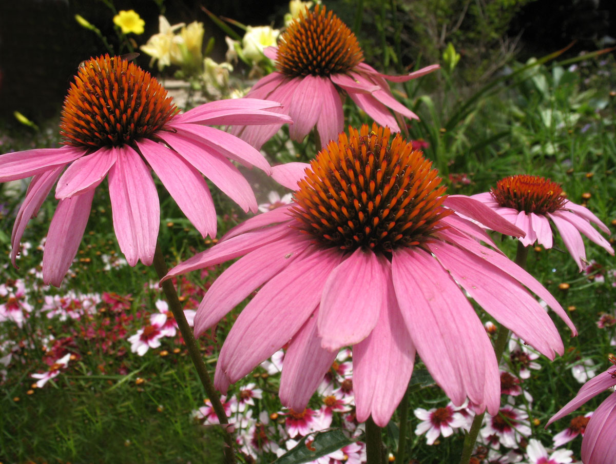 purple coneflower echinacea purpurea. Black Bedroom Furniture Sets. Home Design Ideas