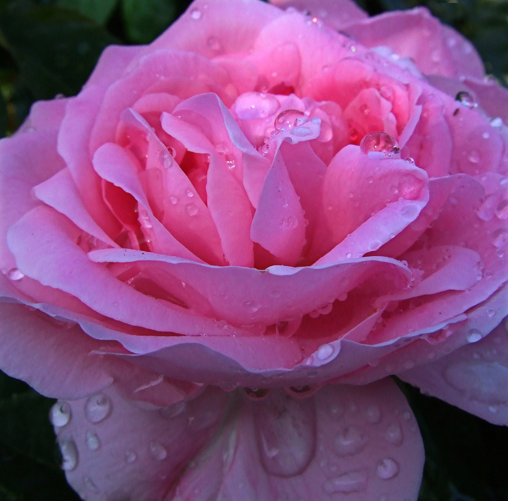 Pink Rose With Water Drops