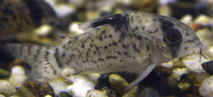 Common name: Black-spotted Corydoras or Bandit Cory (catfish)